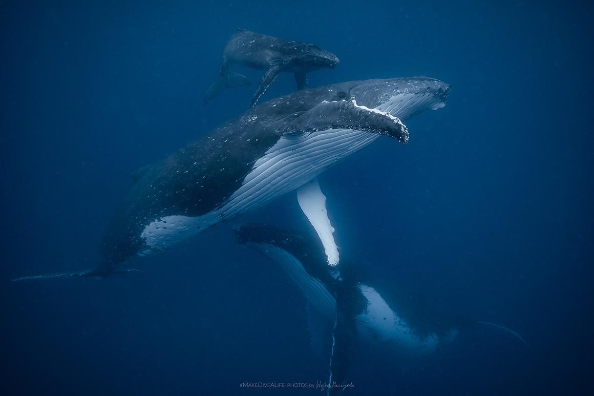Wieloryby zKrólestwa Tonga wobiektywie Wojtka Męczyńskiego