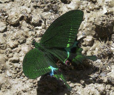 Pang Sida NP Papilio paris RX10III f10 1_100 sec ISO 200_